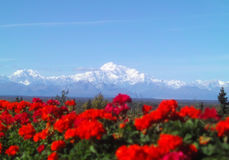Denali Mountain Range. With flowers in foreground Royalty Free Stock Image