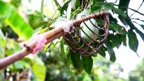 denbehandlade frukt-plockaren för får den gröna mango på träd arkivfilmer