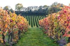 Denbies vingård, Dorking, Surrey, England, UK arkivfoto