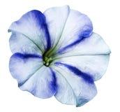 denblått petuniablomman på vit isolerade bakgrund med den snabba banan inga skuggor closeup Royaltyfria Foton