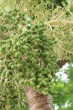 denCA muttern gömma i handflatan det tropiska trädet med gröna frukter. Fotografering för Bildbyråer