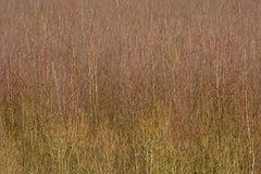 Dence brzozy młody las, abstrakcjonistyczny natury tło zdjęcie royalty free