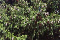 Dence-Grünfichtenzweige mit braunen Tannenzapfen lizenzfreie stockfotos