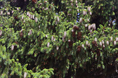 Dence verdissent les branches impeccables avec les cônes de sapin bruns Photos libres de droits