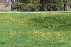 Dendelion kwiatu żółty morze Zdjęcia Stock