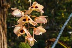 Dendobium pulchellum Roxb. ex Lindl. Royalty Free Stock Image