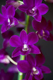 Dendobrium orchid Royalty Free Stock Photo