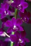 Dendobriumorchidee Royalty-vrije Stock Foto