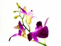 Dendorium Photographie stock