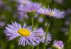 Dendrantema blommor Royaltyfri Foto
