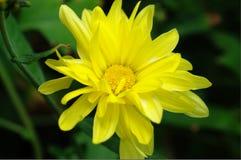 Dendranthema morifolium Obrazy Stock
