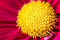 Dendranthema morifolium 免版税库存图片