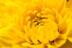 Dendranthema morifolium 库存照片