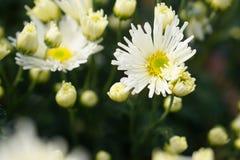 Dendranthema witte bom Royalty-vrije Stock Foto's
