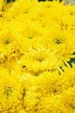 Dendranthemamorifolium Fotografie Stock