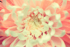 Dendranthemum cross process. Royalty Free Stock Photography