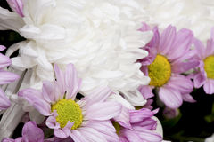 Dendranthemum flower. Royalty Free Stock Photo