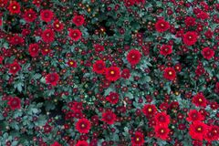 Dendranthemum grandifflora a flower-shaped plant with bright colors easy. And there are many varieties to choose from Is native to. Dendranthemum grandifflora as stock image