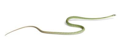 dendroaspis西部绿眼镜蛇的viridis 免版税库存图片