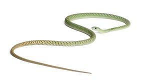 dendroaspis西部绿眼镜蛇的viridis 免版税库存照片