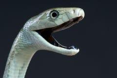 尖酸的黑眼镜蛇/Dendroaspis polylepis 库存照片