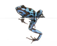 Dendrobates auratus celeste. In front of white background Royalty Free Stock Photography