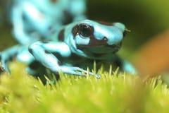 Dendrobates auratus microspot Stock Images