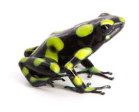 Dendrobates auratus. A poison dart frog from the rain forest of Colombia isolated on a white background Stock Image