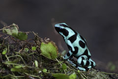 Dendrobates Auratus Royalty Free Stock Photography