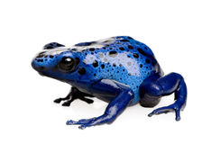 Dendrobates azureus Royalty Free Stock Photo