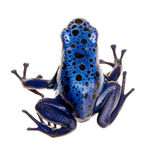 Dendrobates azureus Stock Photography