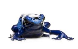 Dendrobates azureus Stock Images