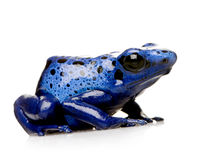 Dendrobates azureus Royalty Free Stock Photography