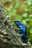 Dendrobates azureus - blue dart poison frog. Blue dart poison frog, shot at the ZOO royalty free stock images