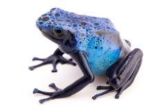 Dendrobates azureus poison dart frog stock photography
