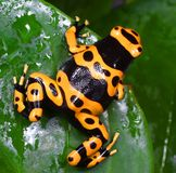 Dendrobates leucomelas Royalty Free Stock Photography
