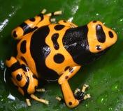 Dendrobates leucomelas. Poison dart frog Stock Images