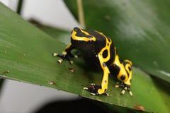Dendrobates Leucomelas Bumble Bee Poison Dart frog Stock Image