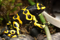 Dendrobates Leucomelas Bumble Bee Poison Dart frog Royalty Free Stock Photography