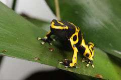 Dendrobates Leucomelas gaffent la grenouille de dard de poison d'abeille Image stock