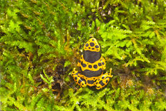Dendrobates leucomelas on moss Stock Photo