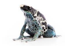 Dendrobates tinctorius Powder Blue Dyeing Poison Arrow Frog. Isolated on white background royalty free stock photos