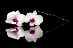 Dendrobium Stock Afbeeldingen