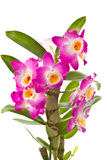 Dendrobium Royalty Free Stock Images