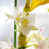 Dendrobium Royalty Free Stock Photography