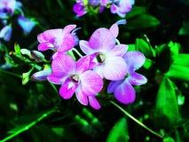 Dendrobium Images stock
