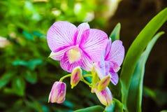 Dendrobium Stockbilder