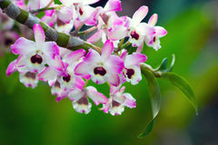 Dendrobium Royalty Free Stock Image