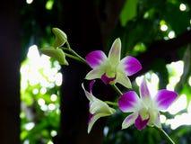 Dendrobium Immagine Stock Libera da Diritti