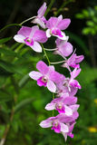 Dendrobium Ali Bongo Ondimba 'Sylvia' (dendrobiumen Masako Kotaish Royaltyfri Bild